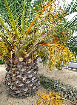 Palm Tree With Fruits Stock Photography - Image: 15790572