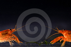 Two Mexican Dwarf Orange Crayfishes Fighting Stock Photos - Image: 15795683