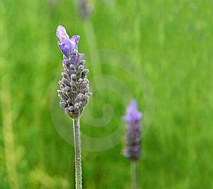 Lavender Close Up Royalty Free Stock Photo - Image: 15795885