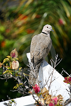 Collared Dove (Streptopelia Turtur) Stock Photo - Image: 15796020