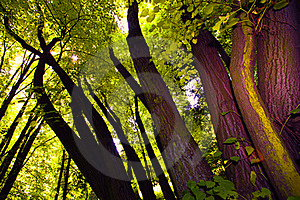 Tree Canopy Royalty Free Stock Image - Image: 15797456