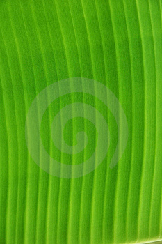 Banana Leaf Texture Detail Royalty Free Stock Photography - Image: 15798937