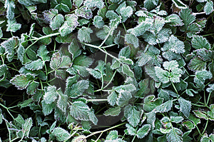 Frozen Foliage Royalty Free Stock Images - Image: 1581939
