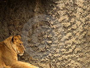 Lioness Stock Images - Image: 1588194