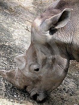 Rhino Headshot Stock Photography - Image: 1588492