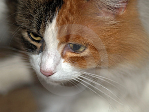 Feline Beauty Royalty Free Stock Image - Image: 1589596