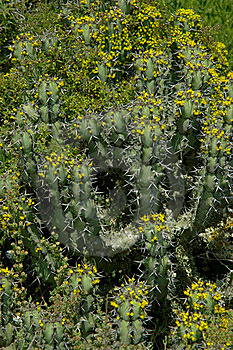 Cactus Plant Covered With Many Little Flowers. Stock Images - Image: 15801344