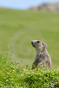 Marmot In The Alps Royalty Free Stock Image - Image: 15801876