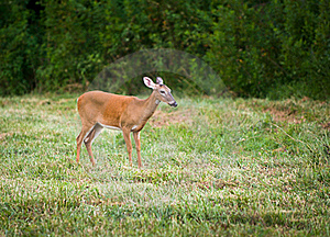 Outdoor Mammal Wildlife White Tail Doe Deer Stock Images - Image: 15802274