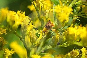 Ambush Bug Royalty Free Stock Photo - Image: 15803765