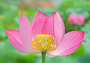Pink Lotus With Drew Stock Image - Image: 15805181