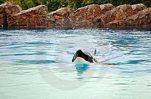 Killer Whale (Orcinus Orca) Royalty Free Stock Photography - Image: 15805797