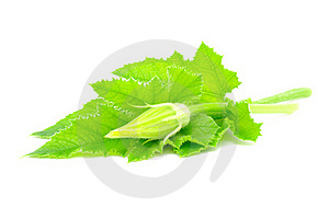 Marrow Leaves And Bud Stock Photography - Image: 15805802