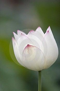 Lotus Royalty Free Stock Photos - Image: 15810258