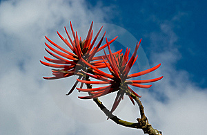 Flowers Of Erythrina Speciosa Stock Photography - Image: 15811162