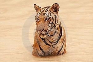 Tiger Take Bath Royalty Free Stock Photo - Image: 15814525