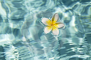Tropical Frangipani Flower In Water Stock Photography - Image: 15816762