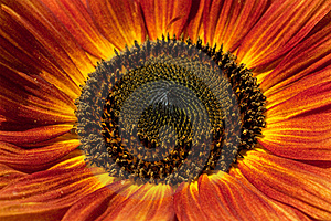Red Sunflower Closeup Stock Image - Image: 15819521