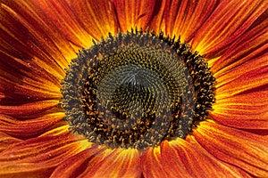 Red Sunflower Closeup Stock Image - Image: 15819521
