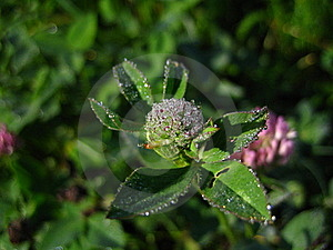 Brilliant Dew On A Clover Royalty Free Stock Images - Image: 15820229