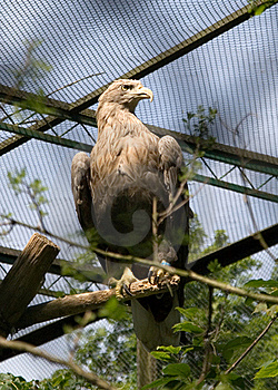 Eagle Royalty Free Stock Photos - Image: 15820868