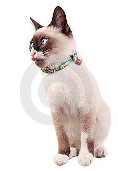 кот сиамский Стоковые Изображения - изображение: 15824504