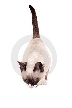 Siamese Kitten Eating Royalty Free Stock Image - Image: 15824506