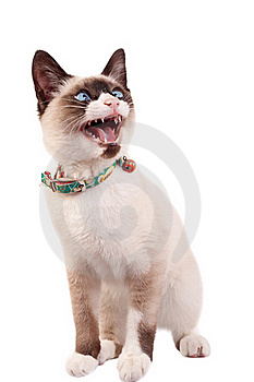 Siamese Cat Stock Photos - Image: 15824513