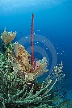 Erect Rope Sponge Royalty Free Stock Photography - Image: 15827357