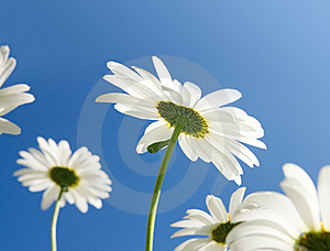Camomile Flowers In Sun Rays Royalty Free Stock Images - Image: 15835139
