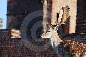 Adult Fallow Deer Buck Royalty Free Stock Photos - Image: 15835458
