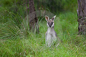 Kangaroo Royalty Free Stock Photo - Image: 15840445
