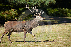 Majestic Royal Stag Royalty Free Stock Photography - Image: 15840617