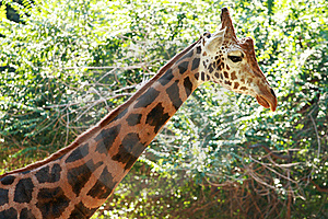 Giraffe Royalty Free Stock Photography - Image: 15841107