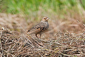 Indochinese Bushlark Stock Photo - Image: 15842060