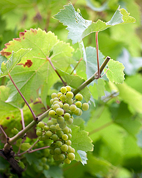 Wine Grapes Royalty Free Stock Photos - Image: 15846248