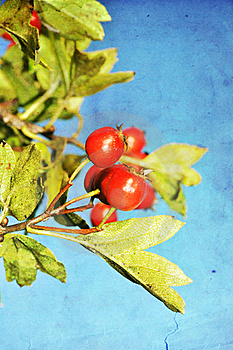 Grunge Hawthorn Berries Photo Stock Image - Image: 15847441