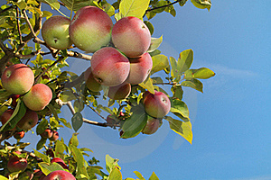 Apple Cluster Stock Images - Image: 15847684