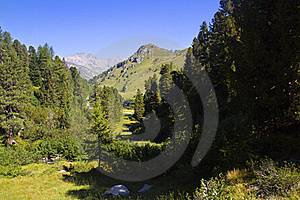 Mountain Pine Royalty Free Stock Photos - Image: 15849118