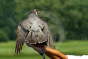 Hunting Falcon Stock Photos - Image: 15850843