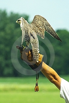 Hunting Falcon Royalty Free Stock Photography - Image: 15850847
