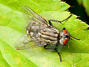 Red Eyed Fly On Green Leaf Royalty Free Stock Photos - Image: 15858438