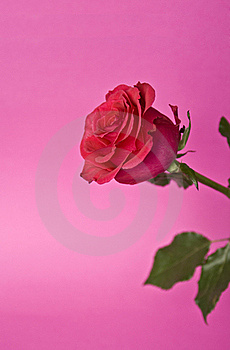 Red Rose Stock Photos - Image: 15858473