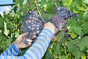 A Hand Is Picking A  Grape In The  Vineyard Royalty Free Stock Photos - Image: 15859038