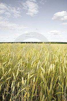 Wheat Field Golden Stock Photos - Image: 15861853