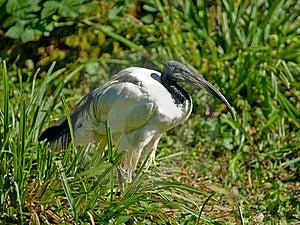 Sacred Ibis Stock Image - Image: 15862551