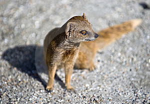 Mongoose Stock Photo - Image: 15862620