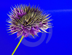 Clematis On Blue Stock Photo - Image: 15863960