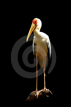 Stork On Black Royalty Free Stock Photography - Image: 15865127