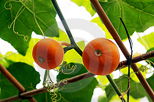 Pumpkins On The Vine Stock Images - Image: 15867024